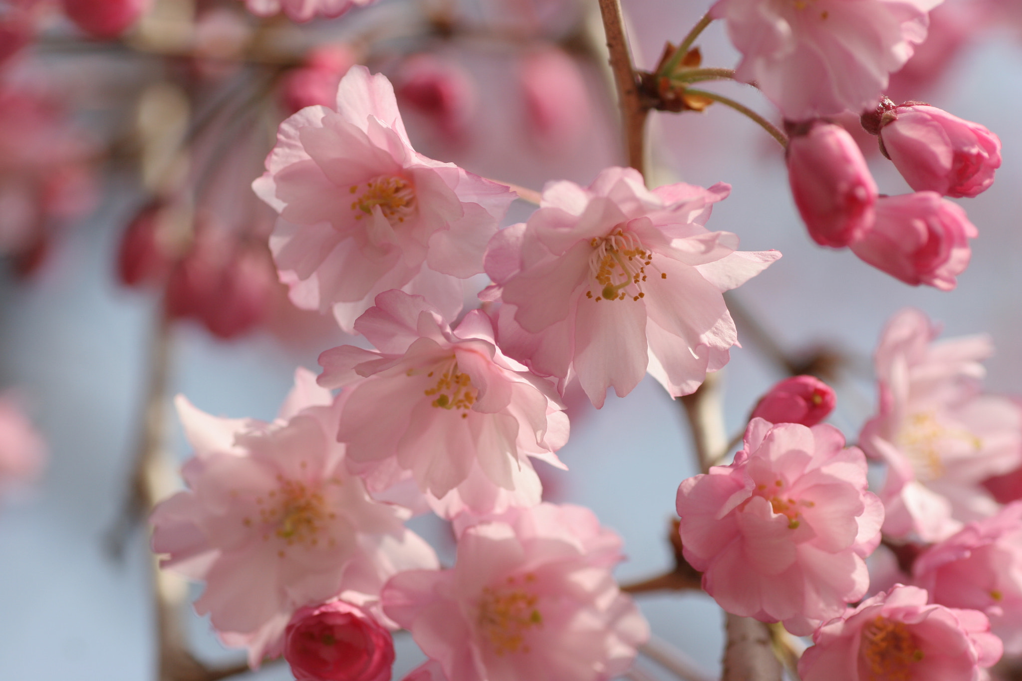 Photograph Cherry blossoms by Jo Miki on 500px