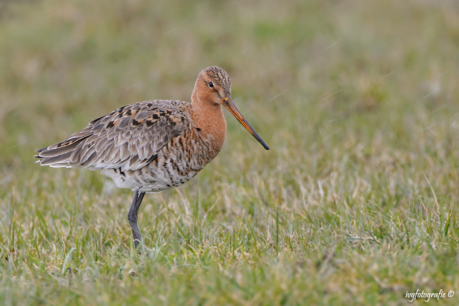 Photograph Limosa limosa by Ivonne van Gool on 500px