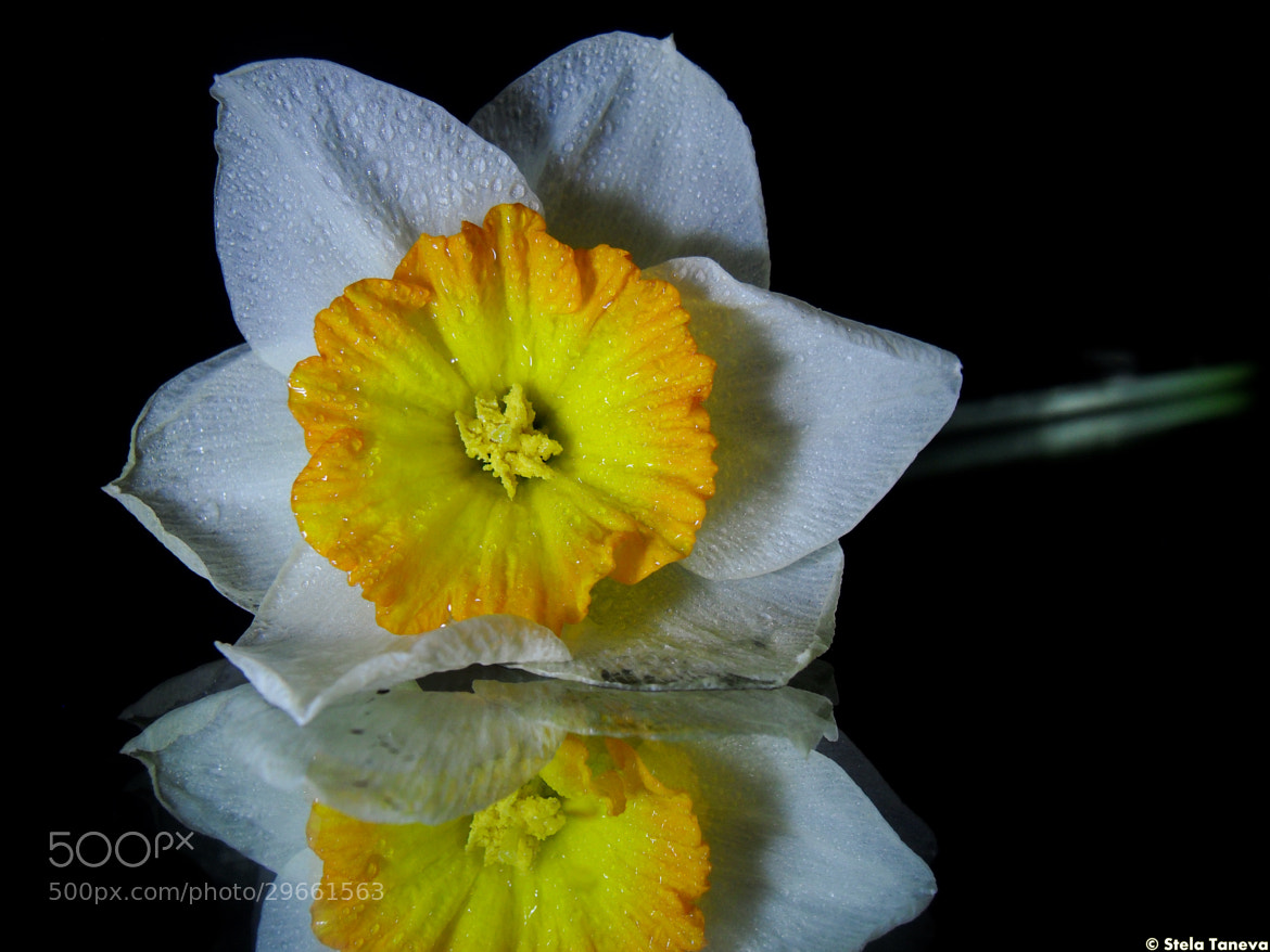 Photograph Yellow beauty by Stela Taneva on 500px