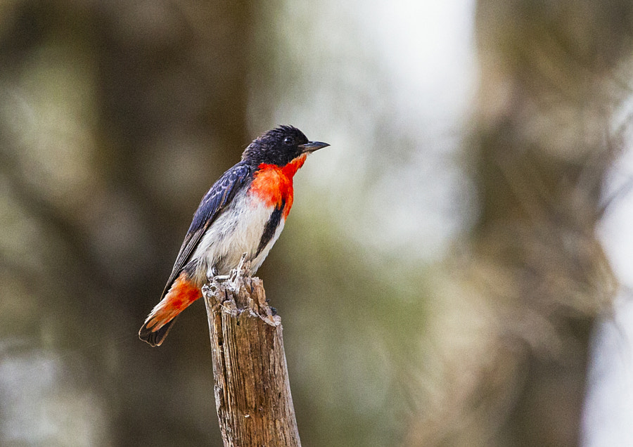 Mistletoebird, by Paul Amyes on 500px.com