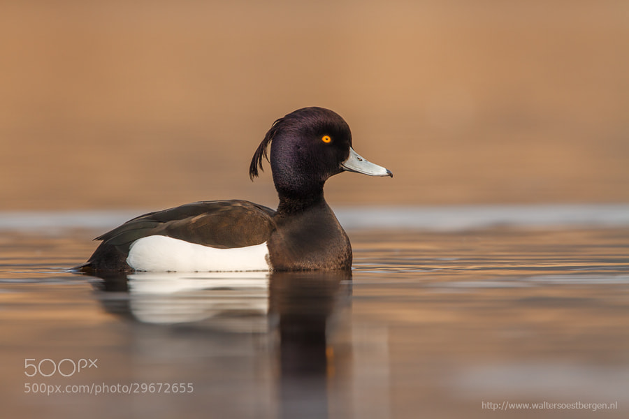 Photograph Tufted duck by Walter Soestbergen on 500px