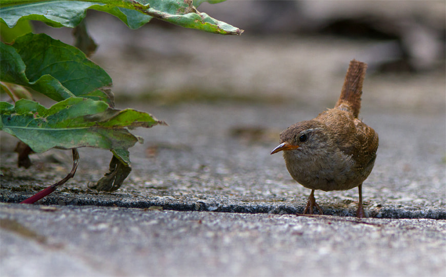 Photograph The Wren by Aiden Zralka on 500px