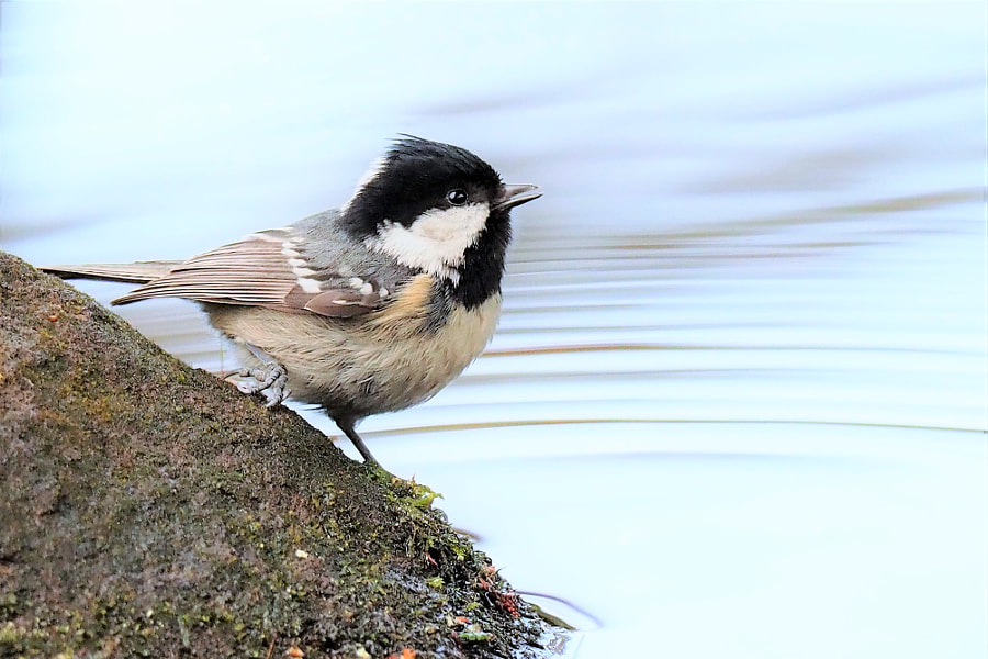 coal tit by shoji uno on 500px.com