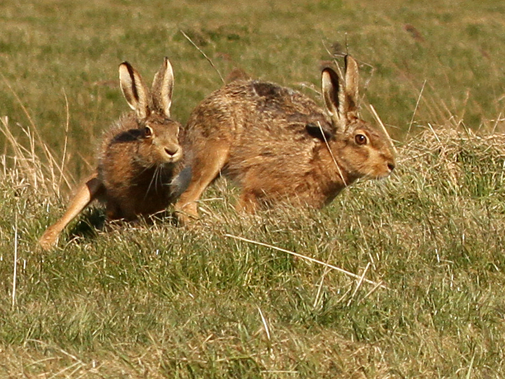 Photograph Brown Hares by Pat Walker on 500px