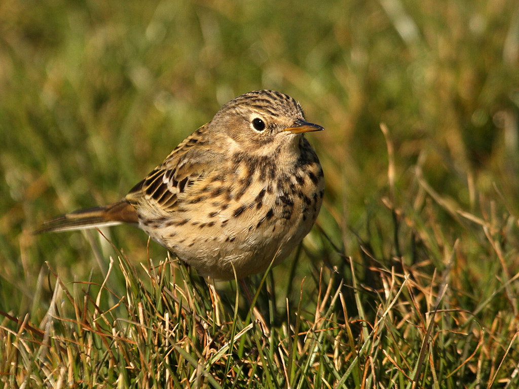 Photograph Meadow Pipit by Pat Walker on 500px
