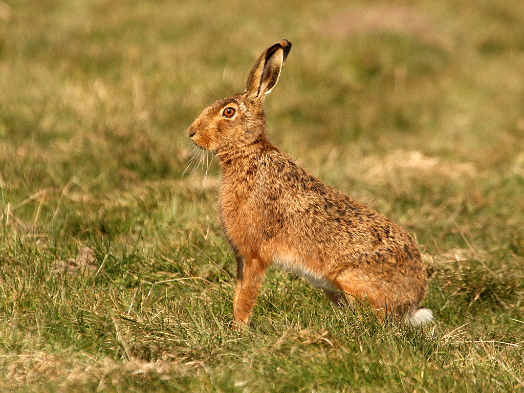 Photograph Brown Hare by Pat Walker on 500px