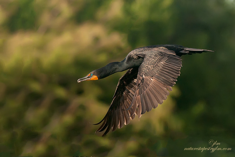 The cormorants had been busy building their nests and this image was captured as one headed off for more nesting material.