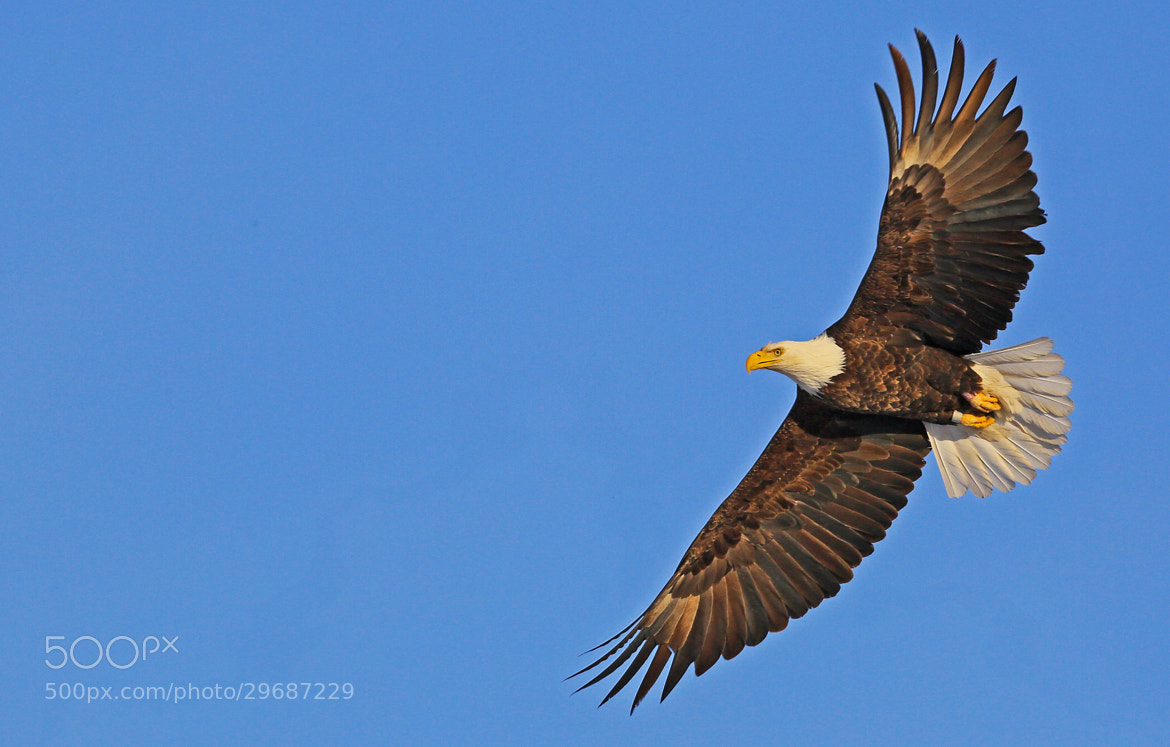 Photograph Bald Eagle in Wide Flight by MM Photo Tours on 500px