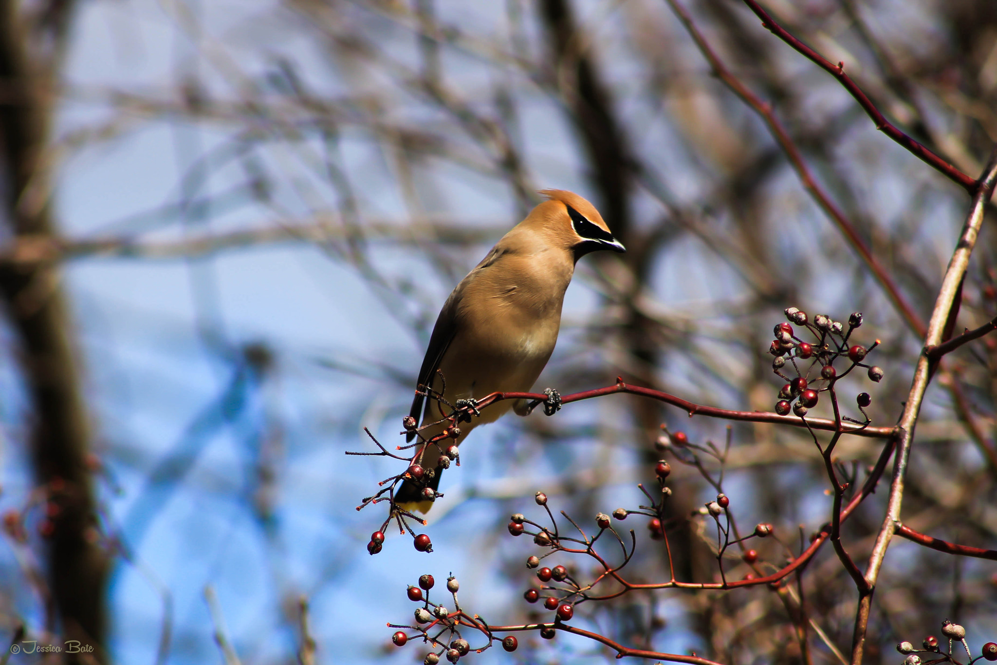 Photograph Cedar Waxwing by Jessica Bate on 500px