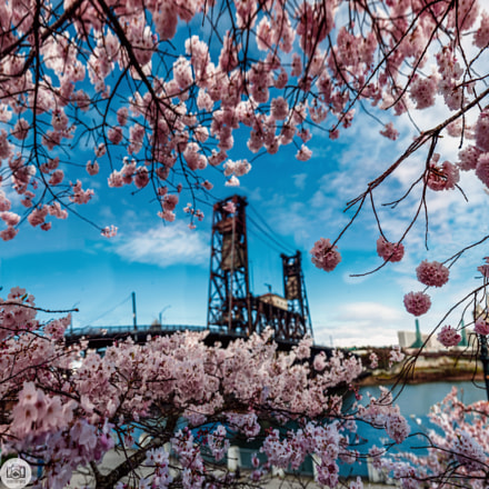 88 of 365. Cherry Blossoms & The Steel Bridge