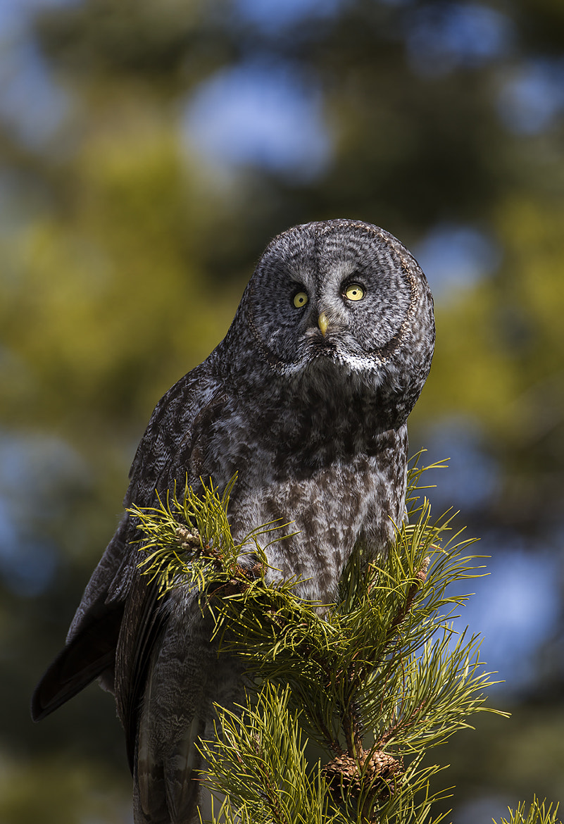 Photograph Great Grey Owl by Walter Nussbaumer on 500px