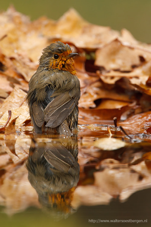 Photograph Bathing Robin by Walter Soestbergen on 500px