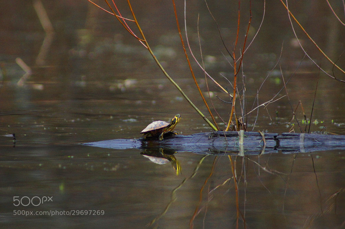 Photograph Turtle and Log by Aric Jaye on 500px