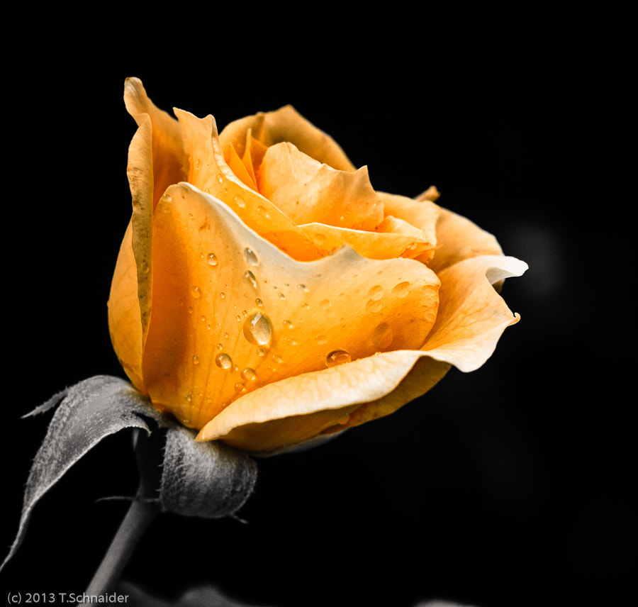Photograph Roses by tschnaider on 500px