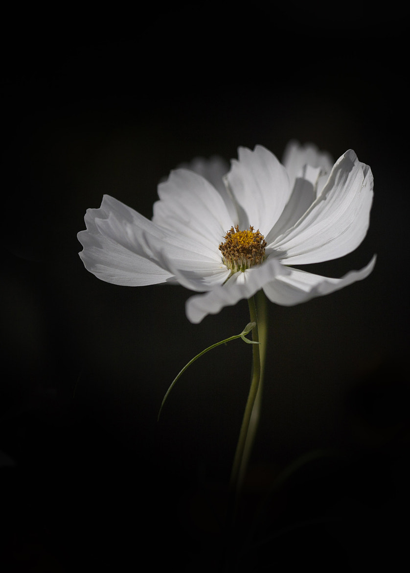 Photograph Cosmos 3 by Margaret Morgan on 500px