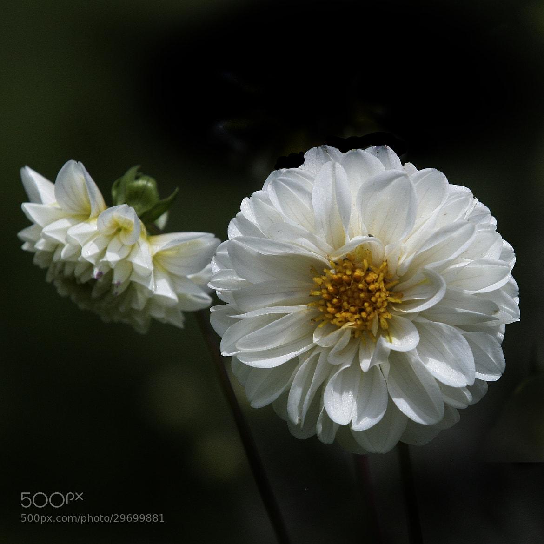 Photograph White Dahlia by Cristobal Garciaferro Rubio on 500px