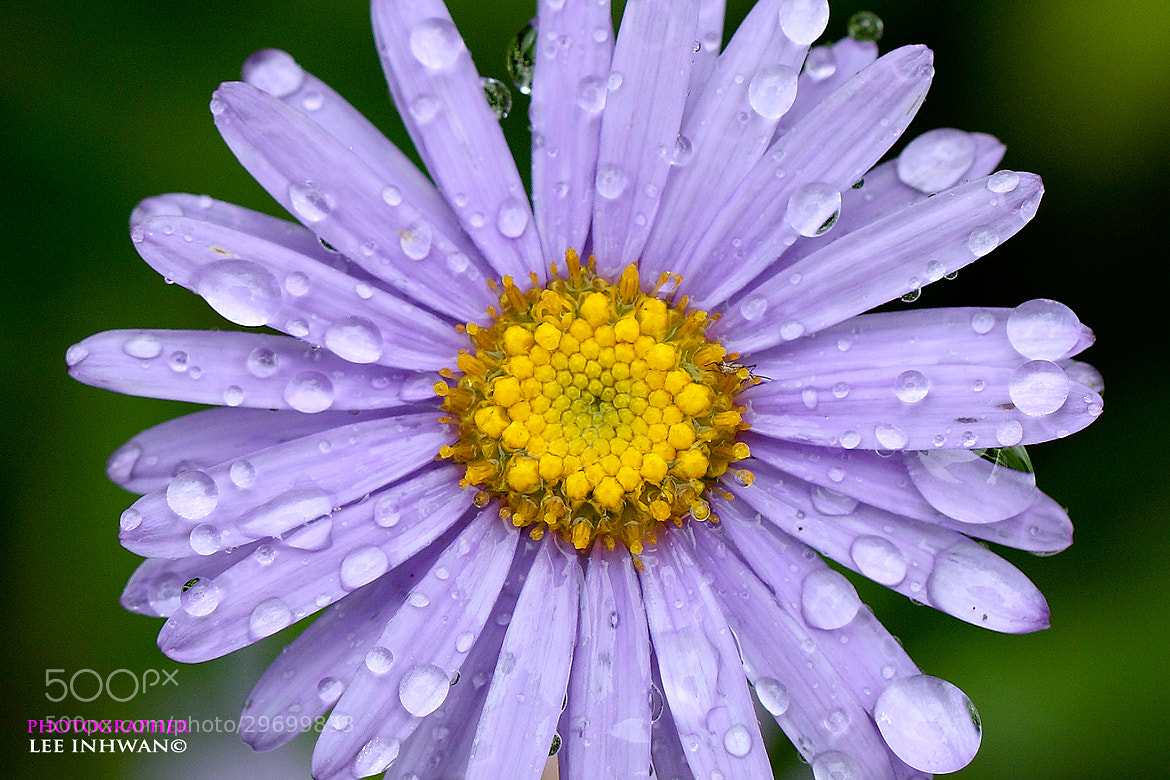 Photograph Aster koraiensis by LEE INHWAN on 500px