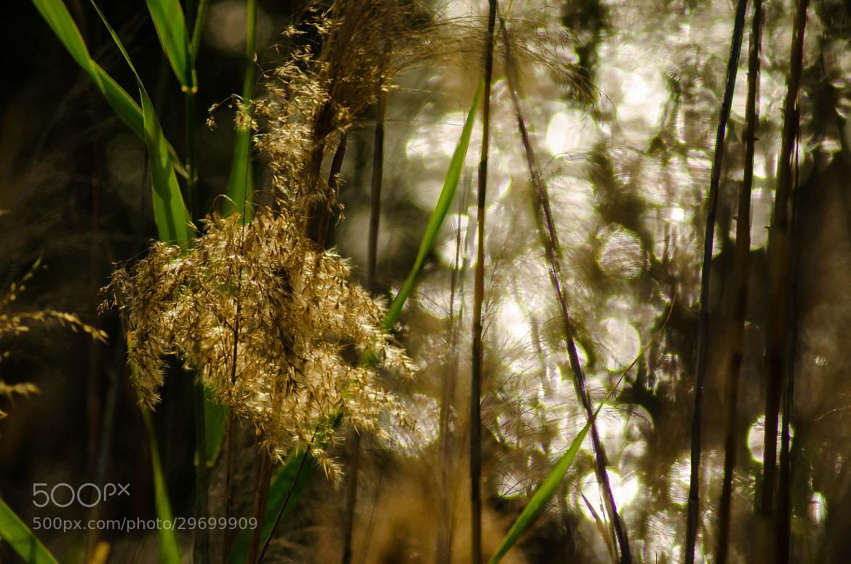 Photograph Golden Grass by julian john on 500px