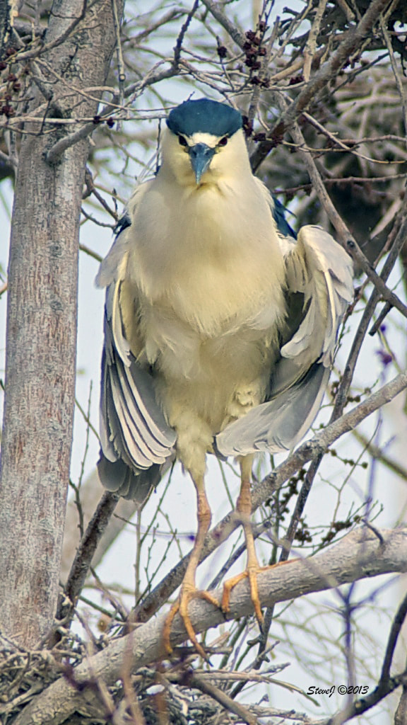 Photograph Black Crowned Night Heron by Steve Johnson on 500px