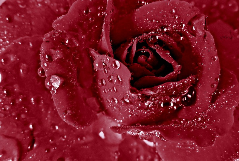 Photograph ROSEY by Venki  on 500px