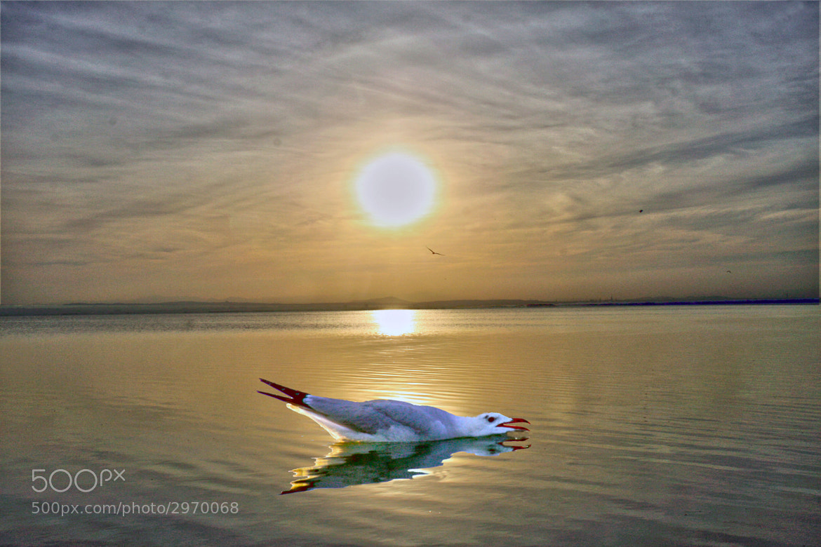 Photograph GAVIOTA AL ATARDECER by juan  rodrigo legua on 500px