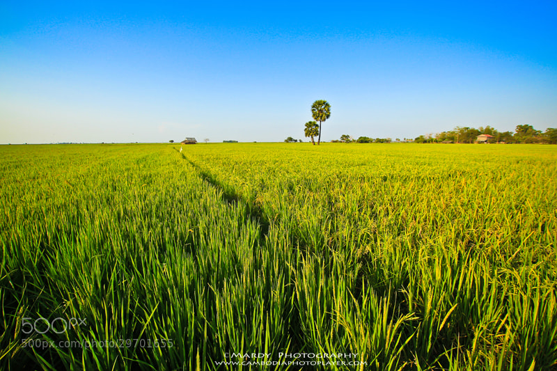 Photograph My country rice field! by Mardy Photography on 500px