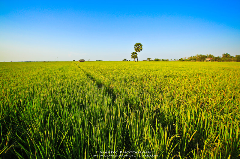 Photograph My country rice field! by Mardy Suong Photography on 500px