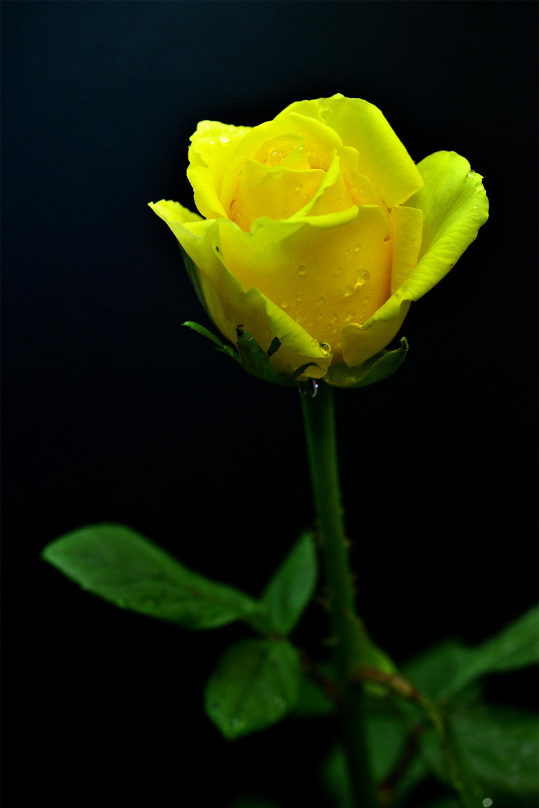 Photograph Yellow Rose by Elly Tjiasmanto on 500px