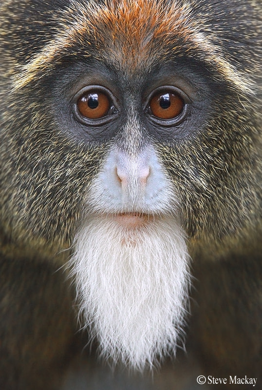 Photograph De Brazza's monkey by Steve Mackay on 500px