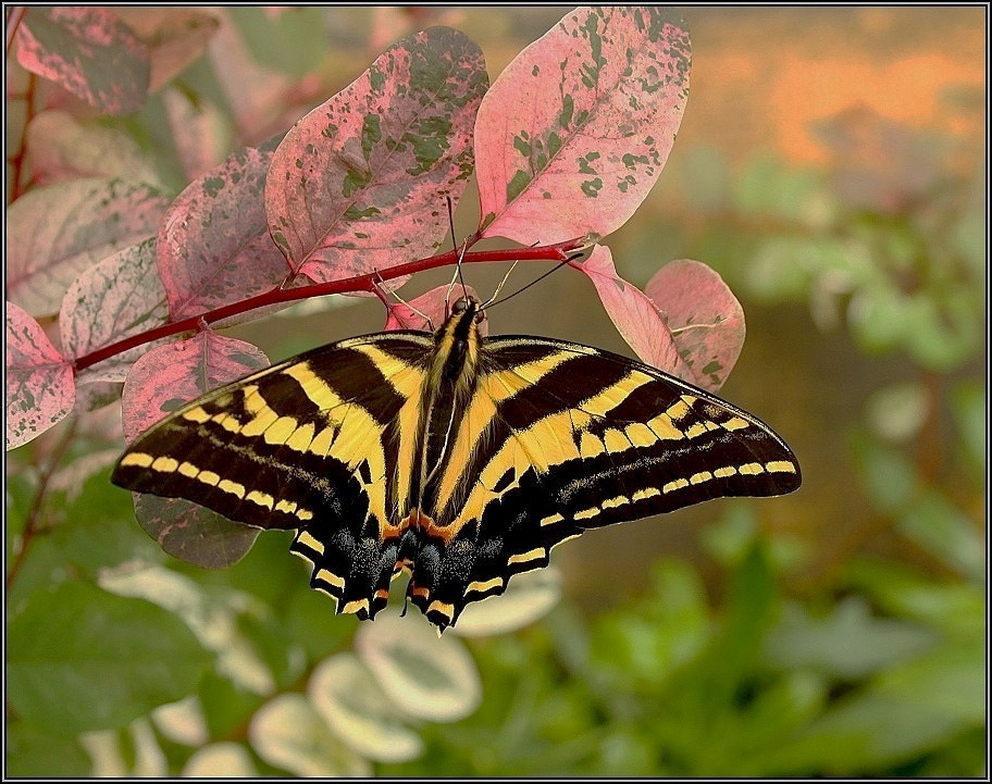 Photograph Papilio polyxenes by Josef Sieber on 500px