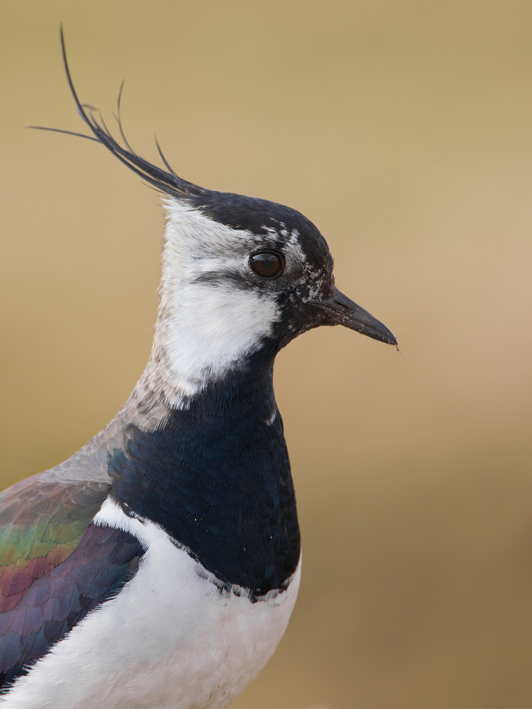 Photograph Lapwing by Mark van der Walle on 500px