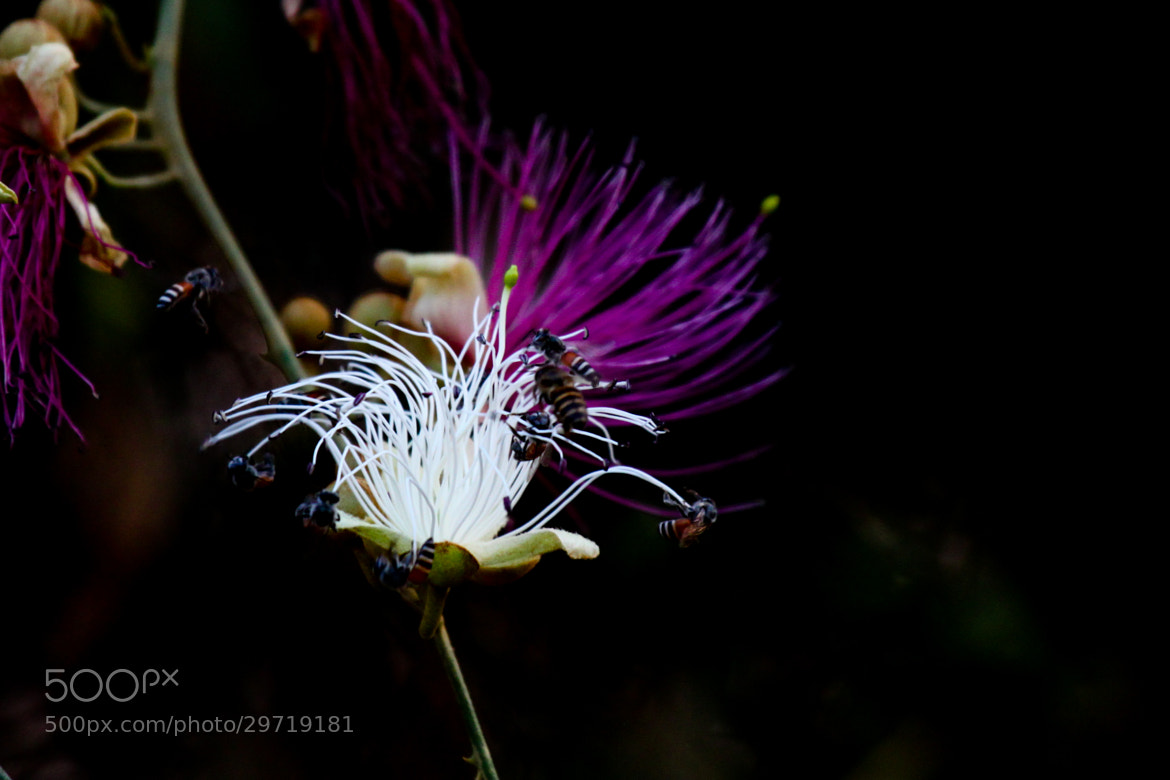 Photograph A Bee Magnet - Indian Caper by Ravi Meghani on 500px