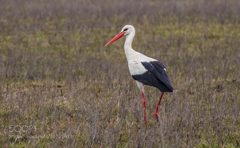 Photograph White Stork by Ladislav Nagy on 500px