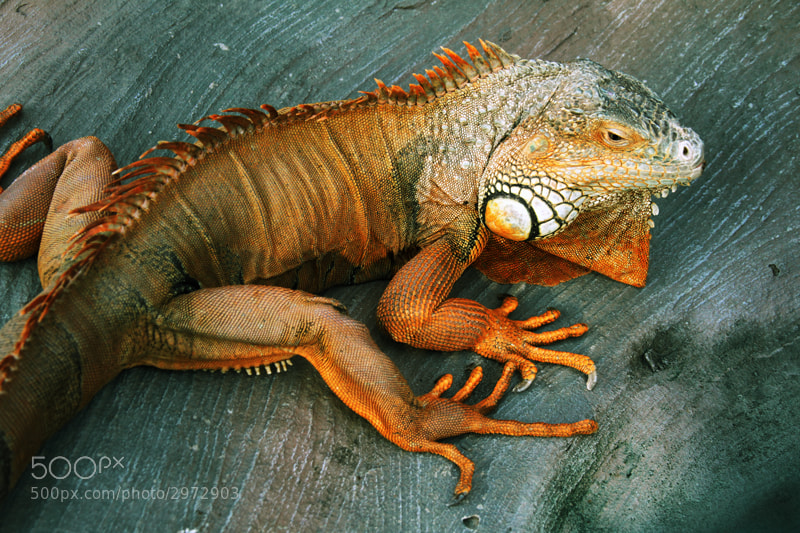 Photograph Iguana by Alex and Elena Volkov on 500px