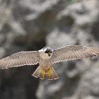 Постер, плакат: Peregrine Falcon Is on the Watch