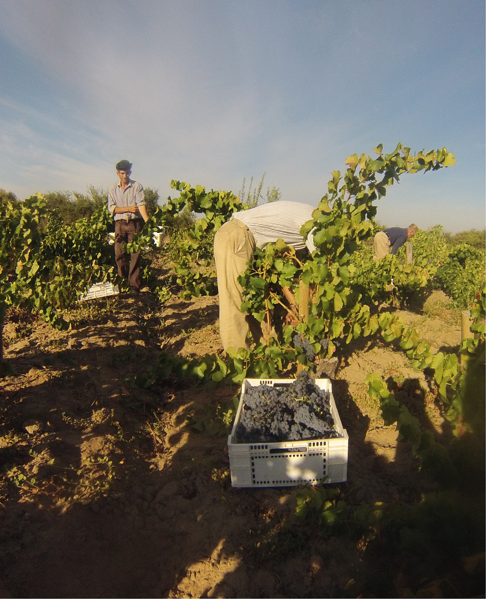 Photograph Picking Carignan in the Maule by Derek Mossman on 500px