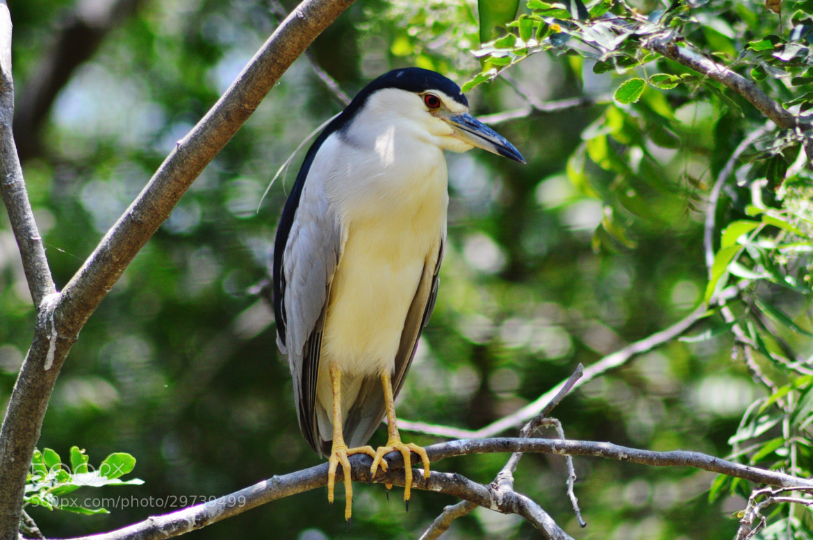 Photograph Black Crowned Night Heron by Ravi S R on 500px