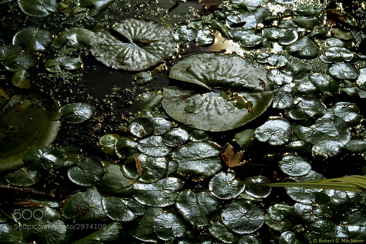 Photograph Lily Pads by Robert D. MacNevin on 500px