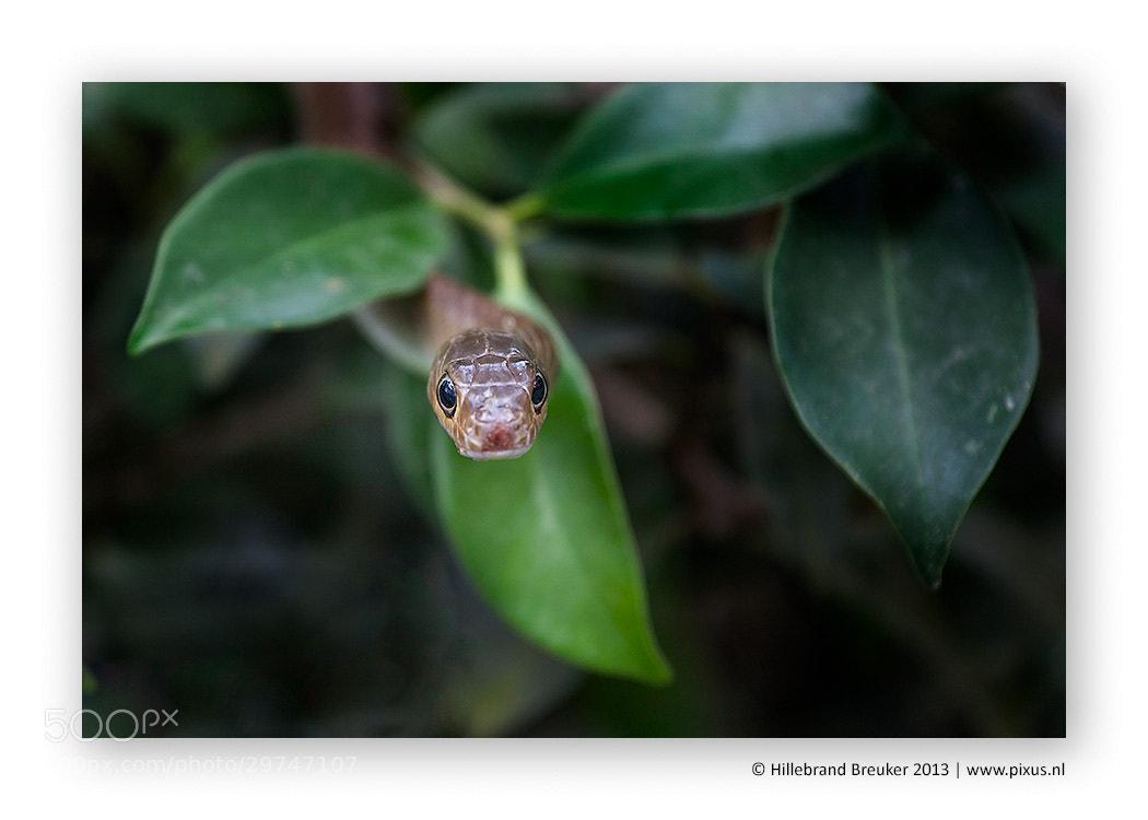 Photograph Snake by Hillebrand Breuker on 500px