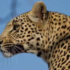 Sabi Sands Private Game Reserve, Kruger National Pârk, South Africa
