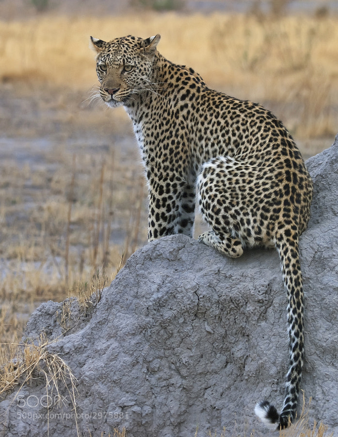 A slightly different pose of the entirety of Amber the Leopardess, taken in Zibilianja, Botswana
