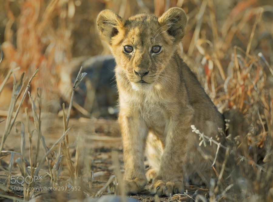"A Young cub peers out through the ""pesky grass"" in Kafue National Park, Tanzania"