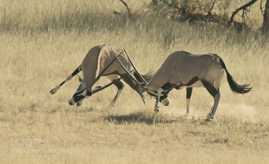Taken in Kgalagadi Transfrontier Park, south Africa