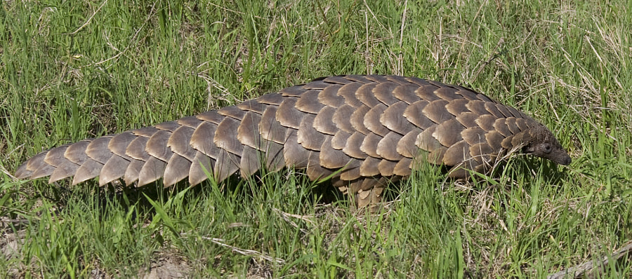 "This is my only other ""usable"" image from our incredible daylight Pangolin sighting in Kwara concession Botswana."
