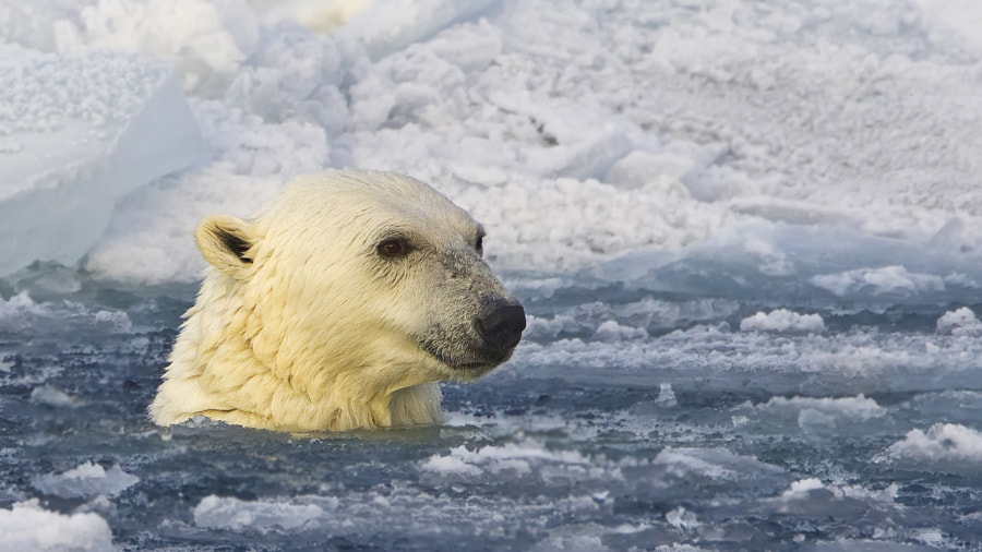 A frozen Polar Bear, in the waters surrounding Svalbard, Norway