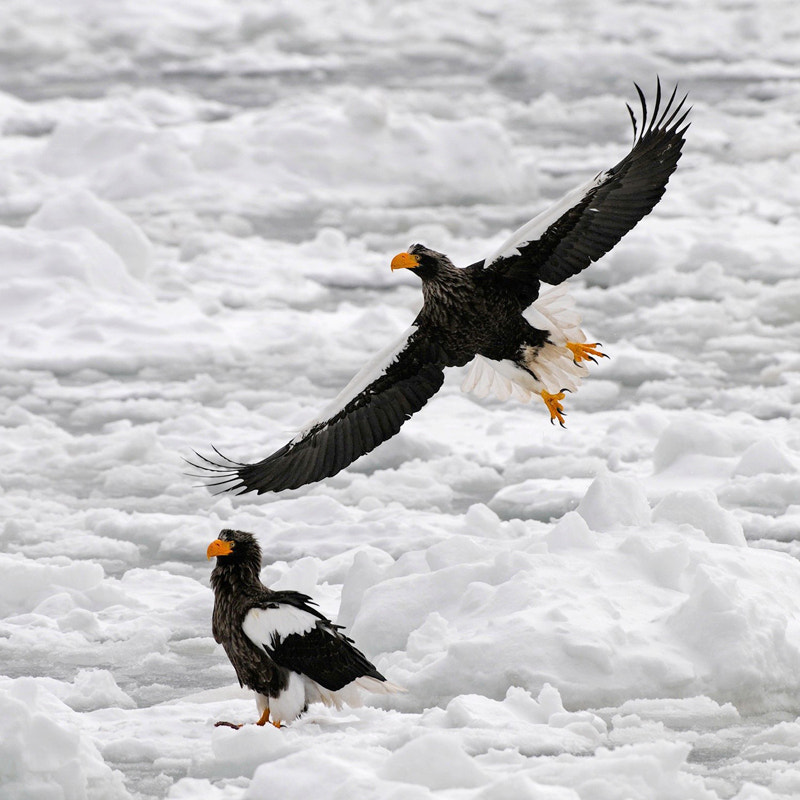 Stellers Sea Eagles on the large amount of floating pack ice at the Sea of Okhotsk. North Easterly of a small town called Rausu, Hokkaido, Japan.