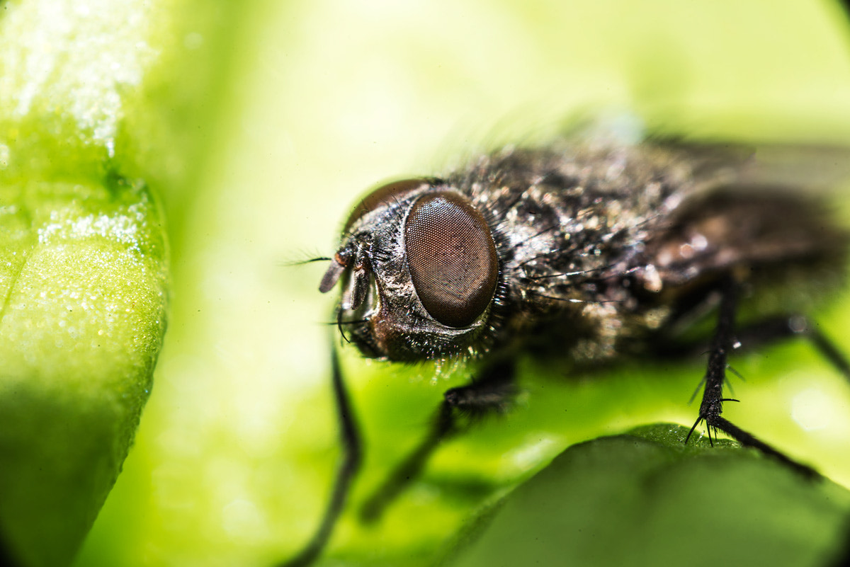 Photograph musca domestica by invertedlens on 500px