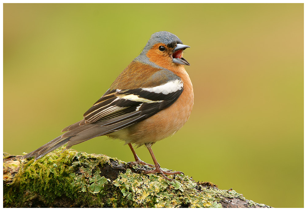 Photograph Male Chaffinch singing by Geoffrey Baker on 500px