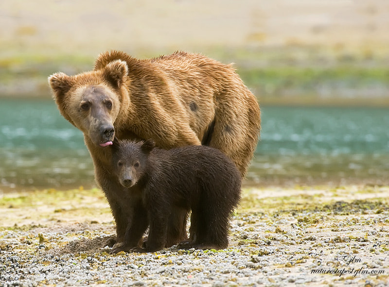 This image was taken from a boat near Katmai , Aaska .  As we were passing by and the mother grizzly was cautiously watching us and  the baby huddled in close to it's mom for protection.   We quietly kept going so as to not cause them any undue alarm.  What a great moment to see.  The mother was obviousy an older sow and had previous encounters by the looks of the scars on her face and also the loss of facial hair made her look older.