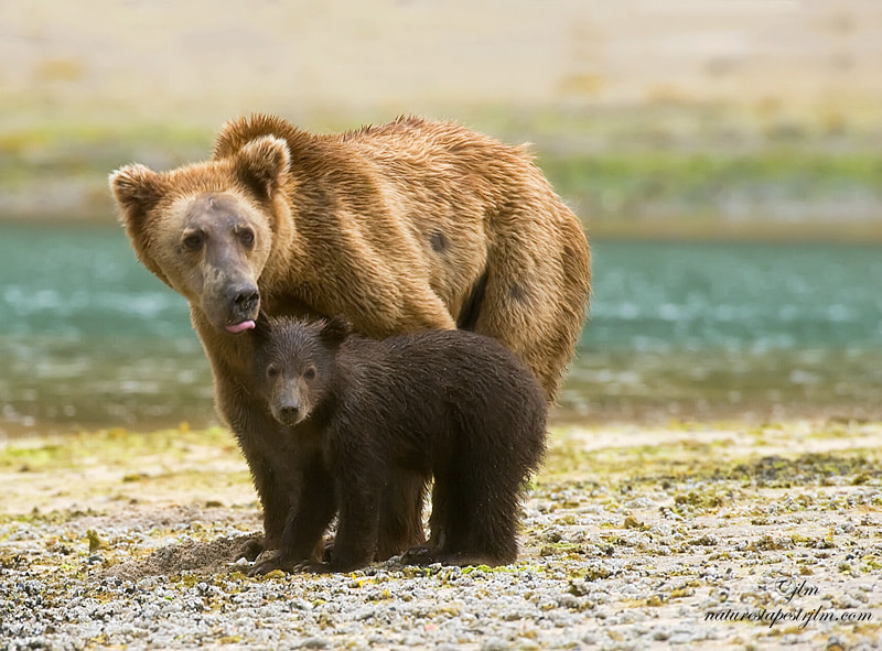 This image was taken from a boat near Katmai , Aaska .  As we were passing by and the mother grizzly was cautiously watching us and  the baby huddled in close to it's mom for protection.  